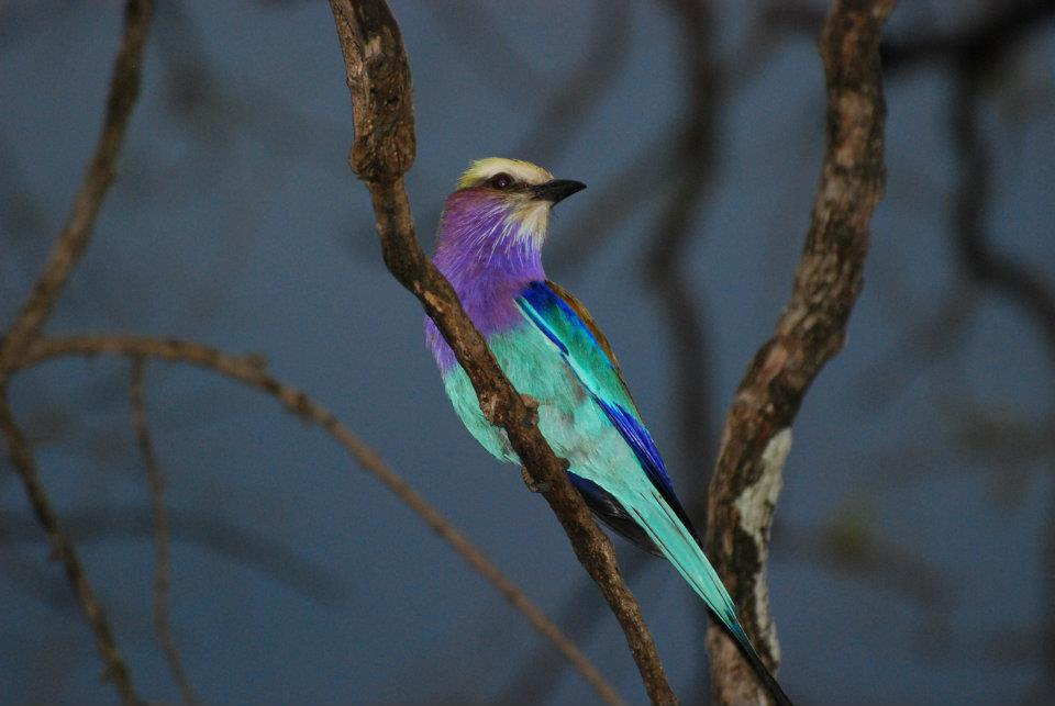 lilac breast roller